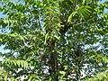Celtis australis NP.JPG