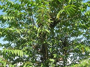 Celtis australis - Image: Celtis australis NP