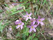 Centaurium erythraea 20060917