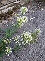 Centranthus ruber sl6.jpg