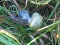 Cepaea nemoralis - wetland 3.jpg
