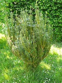 Cephalotaxus harringtonia 'Fastigiata'.jpg