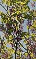 Cercis siliquastrum - Judas tree 12.jpg