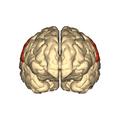 Cerebrum - parietal lobe - anterior view.png