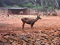 Cervus unicolor (Sambar deer) at IGZoo Visakhapatnam 01.JPG