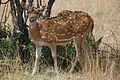 Ceylon spotted deer at kumana national park9 (sri lankan axis deer).jpg