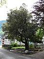 Chêne vert parc Pierrefitte-Nestalas (1).JPG