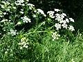 Chaerophyllum bulbosum sl26.jpg
