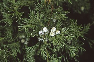 Pettigrew State Park - The Atlantic white cedar is an evergreen found at Pettigrew State Park