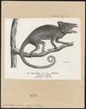 Chamaeleo bifidus - 1700-1880 - Print - Iconographia Zoologica - Special Collections University of Amsterdam - UBA01 IZ12300053.tif