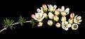 Chamelaucium pauciflorum subsp. Perenjori - Flickr - Kevin Thiele.jpg