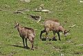 Chamois au printemps au Vallon de Valsenestre dans le parc des Ecrins.JPG