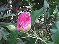 Change Rose - ചേഞ്ച് റോസ് 03.JPG