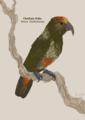 Chatham Kaka, Nestor chathamensis, by Hannah Moss 2019.12.16.png