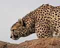Cheetah (5017721217).jpg