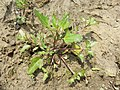 Chenopodium rubrum (s. str.) sl37.jpg