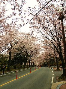Cherry trees in bloom line the streets of Chungnam University.