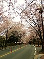 Cherry Blossoms Chungnam University.jpg