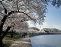 Cherry Blossoms around the Tidal Basin 13696v.jpg