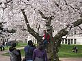 Cherry Blossoms on UW Quad - Flickr - brewbooks (2).jpg