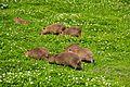 Chester Zoo 2016 027 - Capybara.jpg