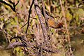 Chestnut-crowned laughingthrush (34709522306).jpg