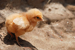 Chick on sand
