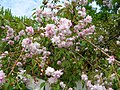 China garden in blossom, Saint Petersburg, Russia 04.jpg