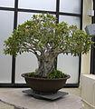 Chinese Banyan (Ficus microcarpa) (3508750021).jpg