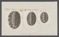 Chiton peruvianus - - Print - Iconographia Zoologica - Special Collections University of Amsterdam - UBAINV0274 081 06 0034.tif