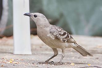 Great bowerbird - Image: Chlamydera nuchalis Mount Carbine