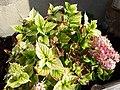 Chlorose hortensia.jpg