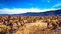 Cholla Cactus Garden (31511777214).jpg