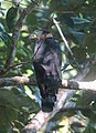 Chondrohierax uncinatus Caracolero piquiganchudo Hook-billed Kite (female) (18578418612).jpg