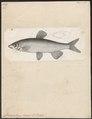 Chrondrostoma nasus - 1700-1880 - Print - Iconographia Zoologica - Special Collections University of Amsterdam - UBA01 IZ14900071.tif