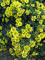 Chrysanthemum x aphrodite1.jpg
