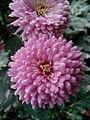 Chrysanthemums bd.jpg