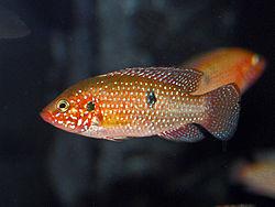 Cichlidae - Hemichromis lifalili.JPG