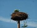 Ciconia ciconia nest in Giżycko.jpg