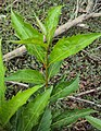Citharexylum spinosum leaves 1.JPG