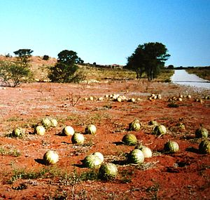 Citrullus lanatus - A tsamma in the Kalahari Desert