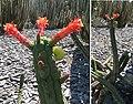Cleistocactus (or Borzicactus) fieldianus - Flickr - Dick Culbert.jpg