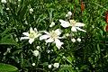 Clematis hexapetala (Ranunculaceae) (34988586063).jpg