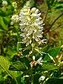 Clethra alnifolia 003.JPG