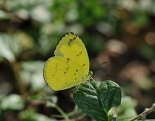 Close wing position of Eurema andersonii Moore, 1886 – One-spot Grass YellowWLB DSC 0056 (2).jpg