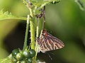 Close wing position of Spindasis elima Moore, 1877 – Scarce Shot Silverline WLB1E7A1581.jpg