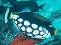 Clown triggerfish (Balistoides conspicillum) (33235366248).jpg