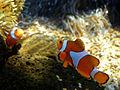 Clownfish (3).jpg