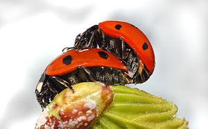 a Sevenspotted Lady Beetle (Coccinella septempunctata) mating