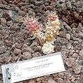 Cochemiea poselgeri - Orto botanico - Rome, Italy - DSC00055.jpg
